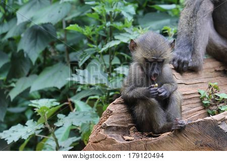 Baboon Youth Holding Food