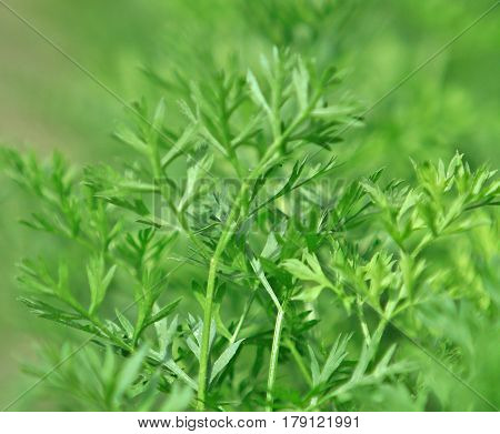 a close up shot of Parsley leaves