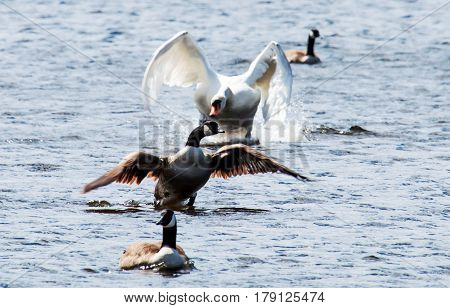 An angry swan attacks a Canadian Goose in the lake at Belmont Lake State Park Long Island New York