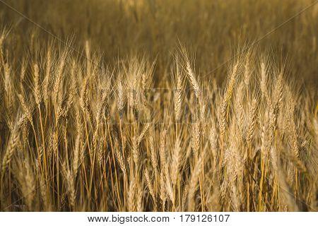 Sunny wheat field. Macro photo of ears of wheat. Rural landscape of a wheat field
