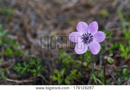 Beautiful Anemone coronaria flower or poppy flower with stamen and petals with white and magenta color