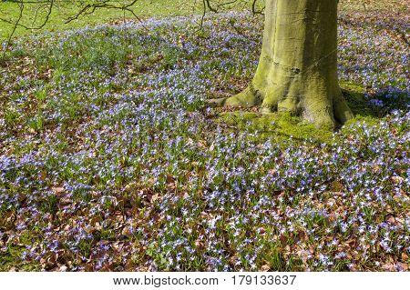 Hyacints under a beech tree in The Paauw in Wassenaar The Netherlands.