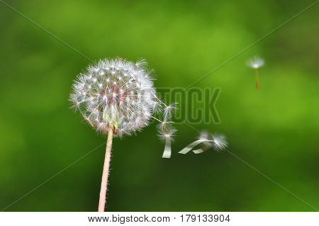 Dandelion with seeds blowing away in the wind, Close up of dandelion spores blowing away