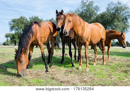 Beautiful brown horses in the field. Domestic Horses