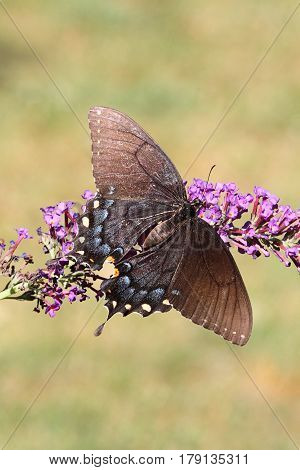 Female Tiger Swallowtail (papilio glaucas) Butterfly (dark morph) on a purple Butterfly Bush flower