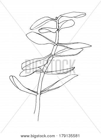 Outline of herb. Crassula. Hand drawn plant. Sketch style. Vector illustration.