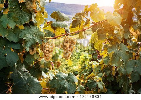 Bunch of organic white grape on vine branch. Wine making concept