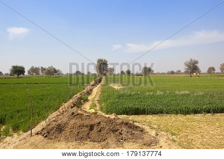 Wheat Crops In Rajasthan