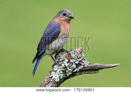Female Eastern Bluebird (Sialia sialis) on a perch with a green background