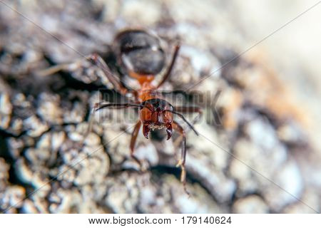 Red wood ant in an aggressive posture