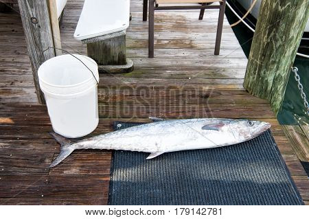 silver fish near white bucket or fishing pail laying on wet wooden dock floor. fishery and hobby concept