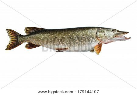 Isolated pike a kind of river fish from the side. Fish-predator. Live fish with flowing fins.