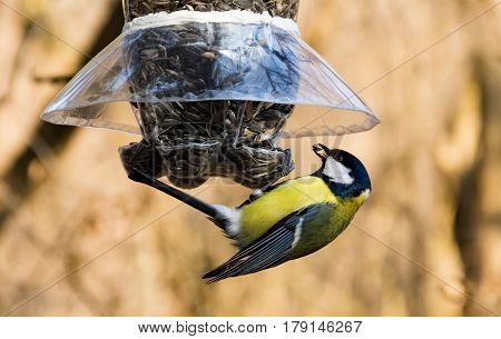 Great tit at a bird feeder taking a sunflower seed