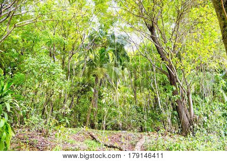 Green Tropical Jungle Wood Or Rainforest With Exotic Palm Tree