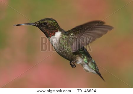 Ruby-throated Hummingbird (archilochus colubris) in flight with a colorful background