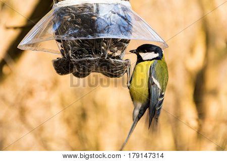 Great tit at a plastic bottle bird feeder