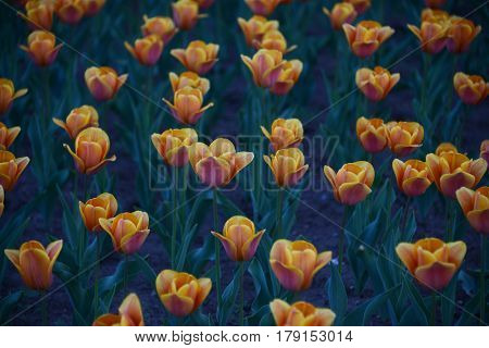 Sunlit red and yellow tulip flowers on a flowerbed against dark green background Spring beauty. Low key photography.