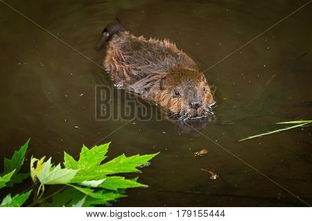 North American Beaver Kit (Castor canadensis) Swims Past Leaves - captive animal