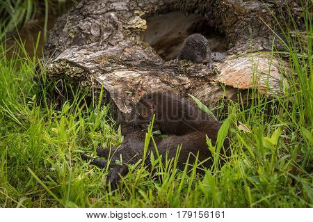 Adult American Mink (Neovison vison) Moves Kits - captive animals