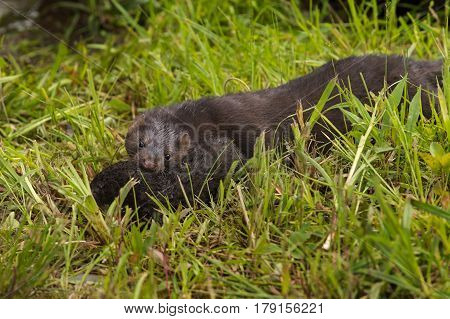 Adult American Mink (Neovison vison) Moves Kit to New Location - captive animal