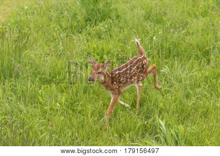 White-Tailed Deer Fawn (Odocoileus virginianus) Trots Left Through Grass - captive animal