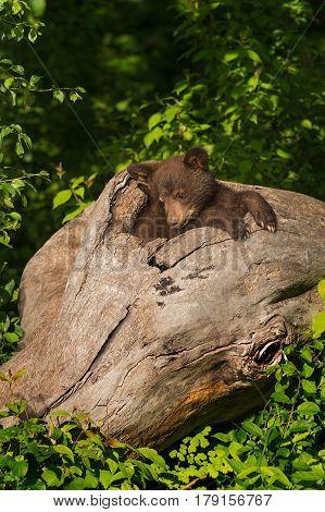 Black Bear Cub (Ursus americanus) Sits in Log - captive animal