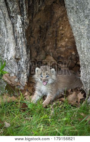 Canada Lynx (Lynx canadensis) Kitten Cries Out - captive animal