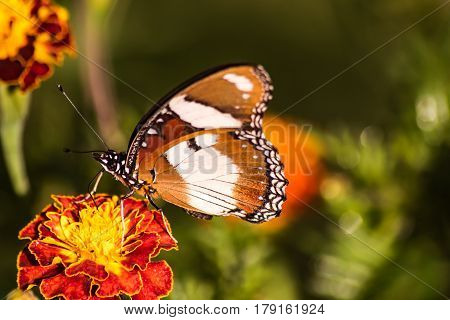 Common Diadem Butterfly - Hypolimnas misippus On a flower feeding