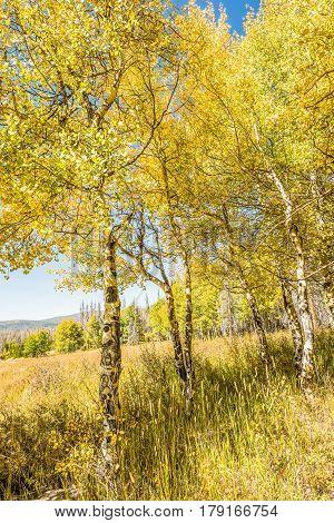 Closeup of golden yellow aspen trees during autumn