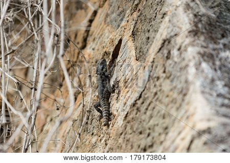 Grey lizard climbing on stone wall with lizard in sharp focus and wall and tree branches blurred
