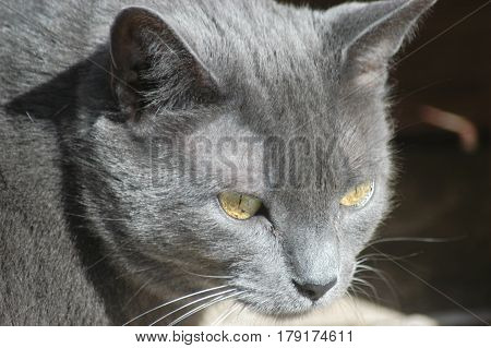 cat eyes gray  Russian face ears  looking