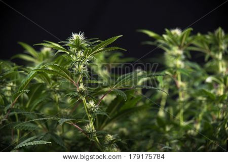 Detail of cannabis cola (Thousand Oaks marijuana strain) with visible hairs and leaves on early flowering stage - isolated over black background