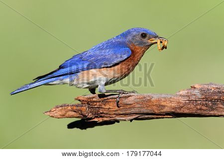 Male Eastern Bluebird (Sialia sialis) on a branch with a worm