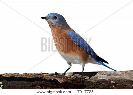 Eastern Bluebird (Sialia sialis) on a perch - Isolated on a white background