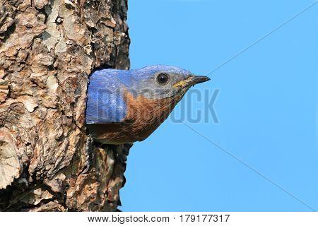 Eastern Bluebird (Sialia sialis) in a nest hole