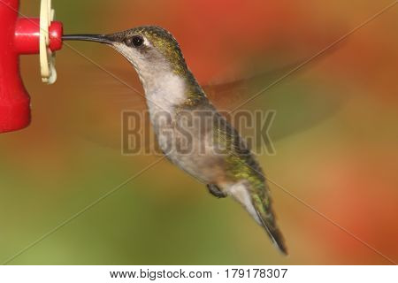 Female Ruby-throated Hummingbird (archilochus colubris) in flight at a feeder with a colorful background