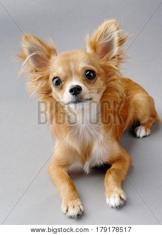 young chihuahua dog close-up lying down on gray background