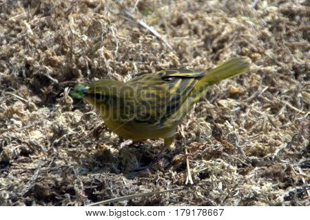Taveta Golden Weaver beautiful lovely yellow feathers