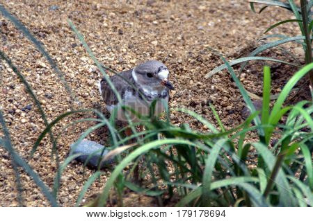 Piping plover hiding behind a green plant