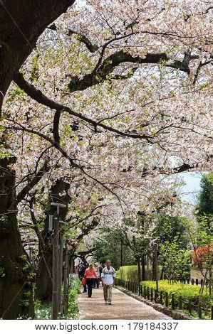 Tokyo Japan - April 8 2016: Cherry blossom at Chidorigafuchi Park Tokyo Japan. a famous Tourist spot in Tokyo Japan.
