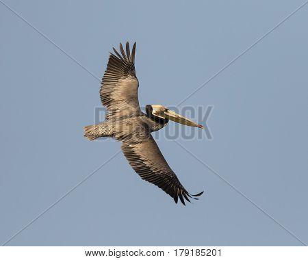 Brown Pelican In Flight - Salton Sea, California