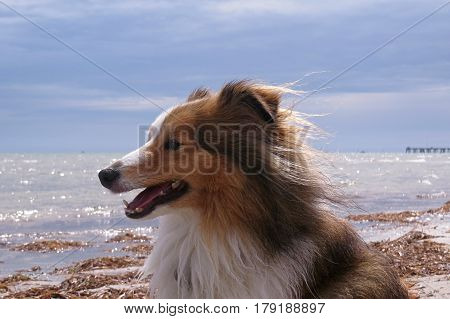 Shetland Sheepdog enjoying happy walkies on an Australian beach