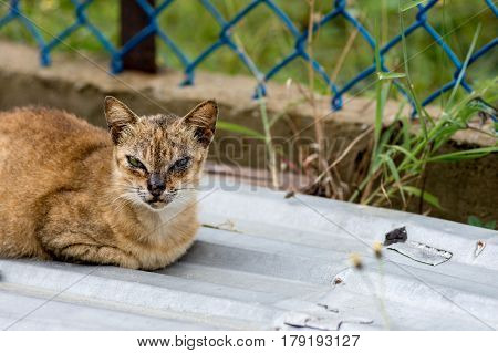A tough looking street cat with face scars from fighting sat on a corrugated sheet with a fence background with copy space.