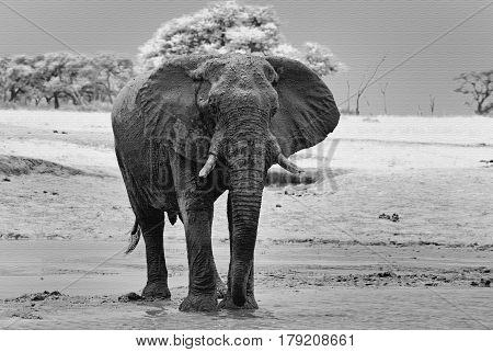 Isolated Elephant standing on the dry empty plains in Hwange National Park with a canvas filter added to look as if painted