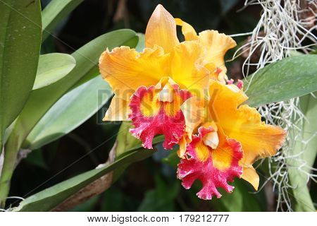 beautiful oranges orchid in garden Thai Orchid