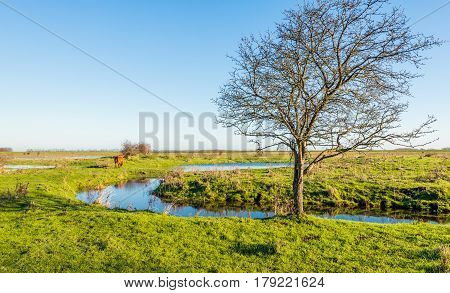 Bare tree in a Dutch nature reserve in the autumn season. In the background the backside of a Scottish Highlander cow which walks away.