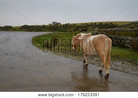 Dartmoor Pony walking along the road - A common sight on Dartmoor