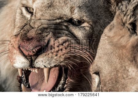 Lion growling while eating in Serengeti National Park