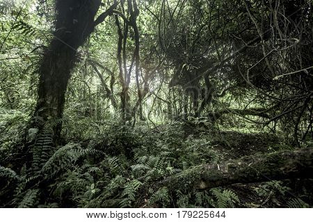 Old growth forest in Nord Kivu, DRC