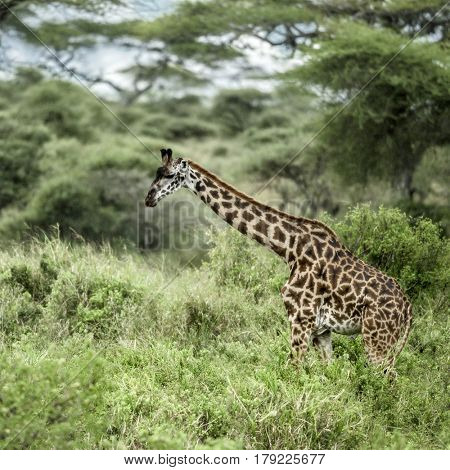 Giraffes in Serengeti National Park, africa